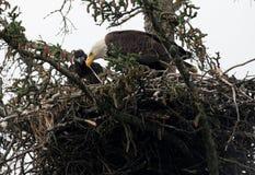 Bald eagle nest in Alaska Royalty Free Stock Images