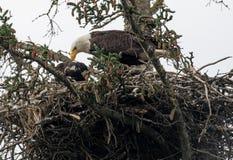 Bald eagle nest in Alaska Stock Photos