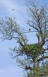 Bald Eagle Nest Royalty Free Stock Photo