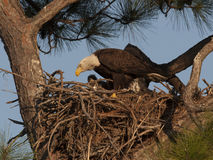 Bald eagle on nest in pine tree in west central Florida Royalty Free Stock Images