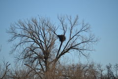 Bald Eagle Nest Stock Images