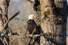 Bald Eagle Nesting Royalty Free Stock Photos