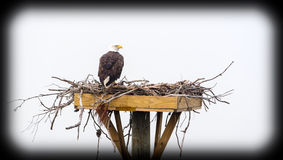 Bald Eagle Nesting Platform Stock Photo