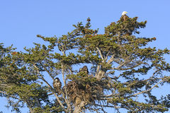 Bald Eagle Nesting Tree with Mother and Two Fledglings Royalty Free Stock Photos