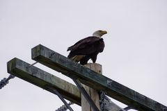 Bald Eagle in North America. Bald eagle is the only eagle unique to North America royalty free stock photos