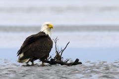 Bald Eagle. On the ocean coast. Alaska Stock Image