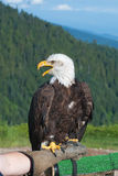 Bald Eagle with open beak. Royalty Free Stock Photos