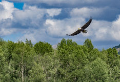 Bald Eagle Over the Snake River Stock Images