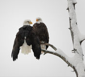 Bald Eagle pair Stock Image