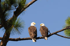 Bald Eagle Pair facing each other. A mated pair of Bald Eagles looking at each other in Punta Gorda Florida stock image