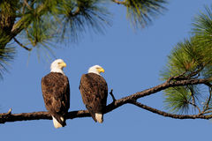 Bald Eagle Pair facing right Royalty Free Stock Images