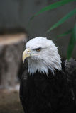 Bald Eagle with a Particularly Hooked Beak Stock Images