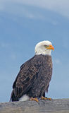 Bald Eagle on Perch Stock Images