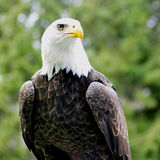 Bald Eagle on perch - square shot Stock Images