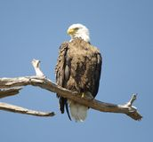 Bald Eagle Perched Royalty Free Stock Images