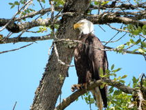 Bald eagle. Perched in ash tree Royalty Free Stock Image