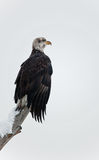 Bald eagle perched on branch Stock Image