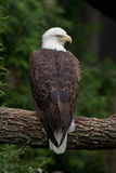 Bald Eagle perched on a branch. A bald eagle perched on a branch Stock Photography