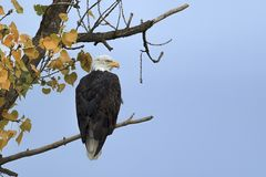 Bald eagle perched on a branch. stock photo