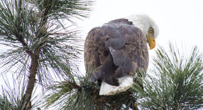 Bald Eagle Perched on a Branch Royalty Free Stock Image
