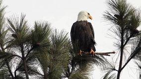 Bald eagle perched on a branch stock video