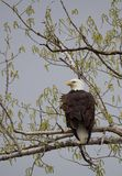A Bald Eagle Perched on a Cottonwood Tree. An adult bald eagle perched on a cottonwood tree in spring. The eagle is photographed from behind with its head facing stock photo
