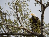A Bald Eagle Perched on a Cottonwood Tree Facing Camera. An adult bald eagle perched on a cottonwood tree in spring. The eagle is photographed facing the camera stock photography