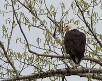 A Bald Eagle Perched on a Cottonwood Tree in Spring. An adult bald eagle perched on a cottonwood tree in spring. The eagle is photographed from behind with its royalty free stock photography