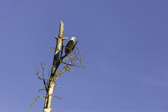 Bald eagle perched on dead tree against blue sky. An adult bald eagle perched on a dead tree with a blue sky in the background Royalty Free Stock Photo