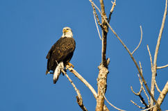 Bald Eagle Perched in a Dead Tree Stock Photo