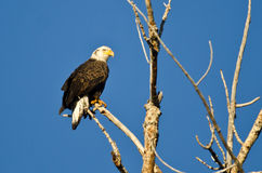 Bald Eagle Perched in a Dead Tree Stock Photography