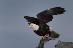 Bald Eagle perched on driftwood, Homer Alaska Royalty Free Stock Photo