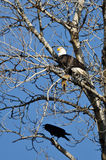 Bald Eagle Perched with a Half Eaten Squirrel While Crow Looks On Stock Photos