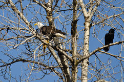Bald Eagle Perched with a Half Eaten Squirrel While Crow Looks On Royalty Free Stock Photo