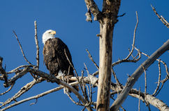 Bald Eagle Perched High in the Winter Tree Stock Photography