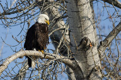 Bald Eagle Perched High in the Winter Tree Stock Images