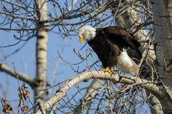 Bald Eagle Perched High in the Winter Tree Royalty Free Stock Photos