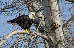 Bald Eagle Perched High in the Winter Tree Royalty Free Stock Photo