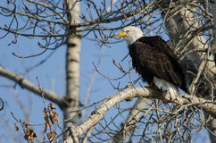 Bald Eagle Perched High in the Winter Tree Royalty Free Stock Photography