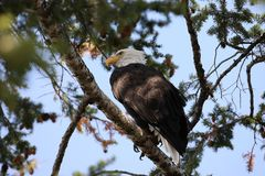 Free Bald Eagle Perched In Tree,Yellowstone NP,USA Stock Image - 161040361