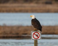 Bald Eagle on signpost. A bald eagle perched on a no shooting signpost by wetlands royalty free stock images