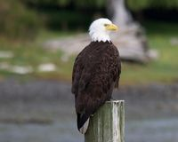 Marina eagle. Bald eagle perched on a piling giving it a great vantage point to watch over the harbour Royalty Free Stock Images