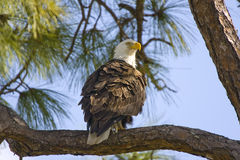 Bald Eagle perched in a Pine Tree. A Bald Eagle perched in a Pine Tree ane watching his nest Stock Images