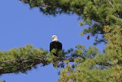 Bald Eagle Perched in Pine Tree Stock Photography