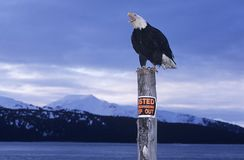 Bald Eagle perched on post in mountains Stock Images