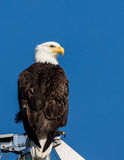 Bald Eagle. A bald eagle perched on a ship's mast in Alaska Royalty Free Stock Images