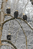 Bald eagle perched on snow  branch Royalty Free Stock Image