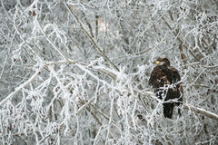 Bald eagle perched on snow  branch Stock Photos