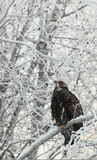 Bald eagle perched on snow  branch Royalty Free Stock Photography