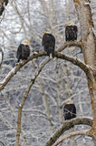 Bald eagle perched on snow  branch Royalty Free Stock Photos